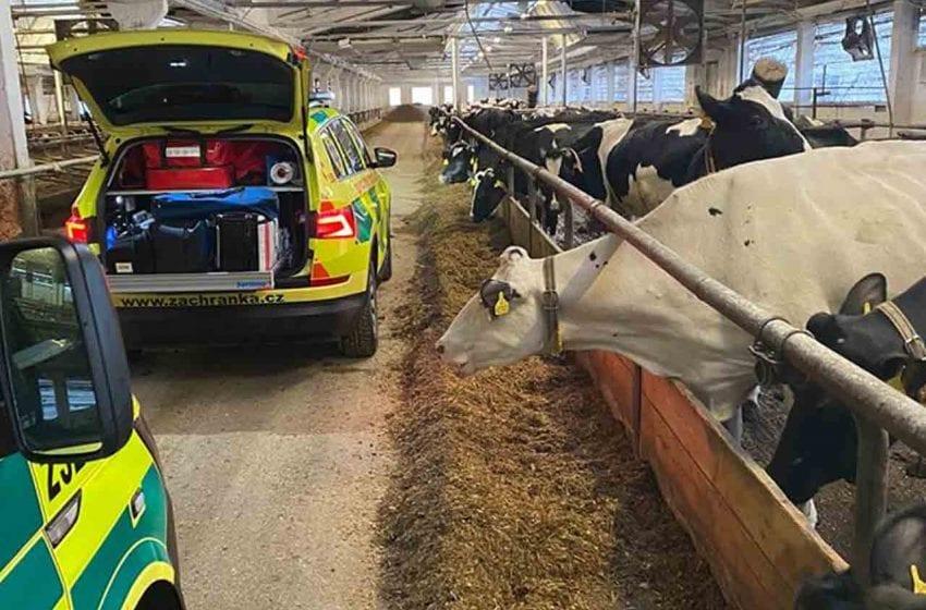 Vážné zranění v kravíně