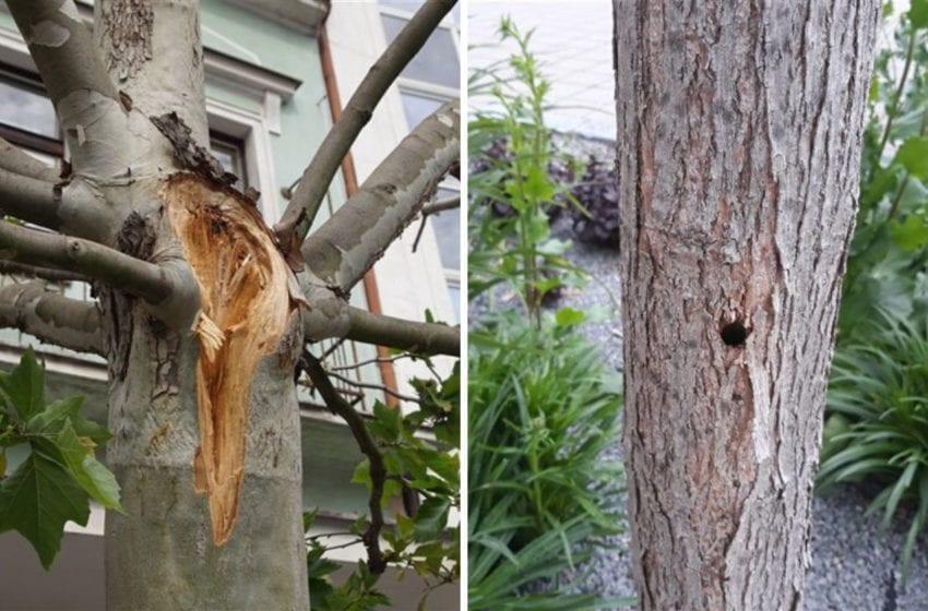 V Mladé Boleslavi někdo úmyslně navrtal stromy. Budou muset být pokáceny