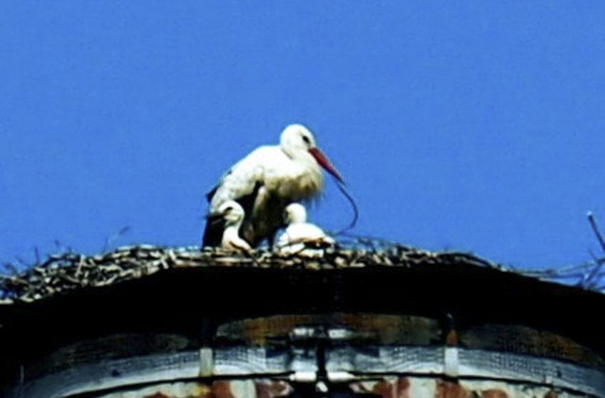 Hnízdo v Debři pomohlo na svět dvěma čápům bílým