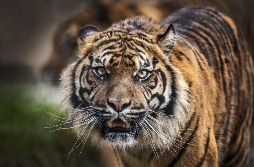V zooparku na Mělnicku potrhal tygr opilého muže