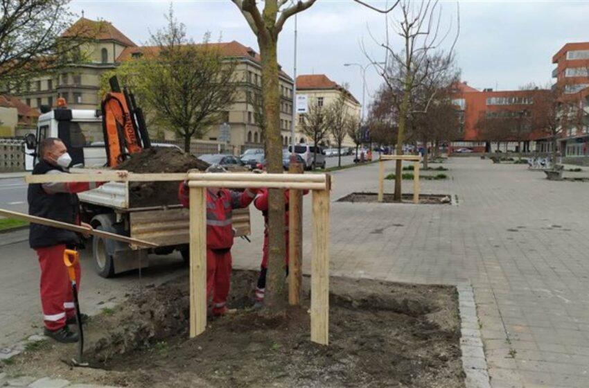 Město vysadilo náhradu za vandalem poškozené stromy