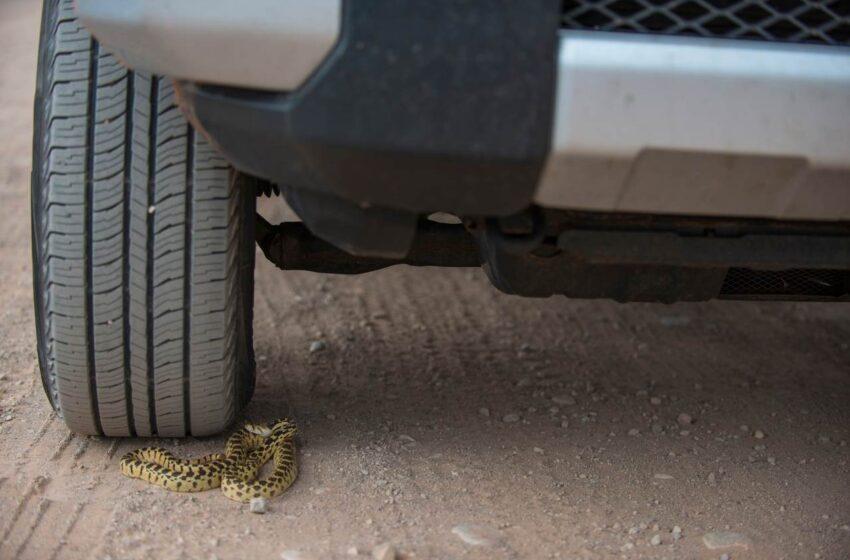 Strážníci hledali na sídlišti v podvozku vozu hada